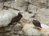 Brown Booby, female, and Blue-footed Booby