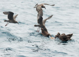Black-footed Albatrosses and juvenile Western Gulls, feeding