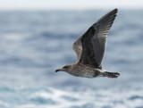 Western Gull, juvenile