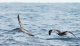 Black-footed Albatross and California Gull, juvenile