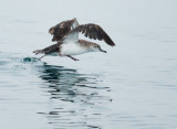 Black-vented Shearwater, taking off
