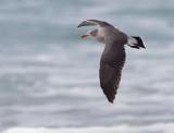 Heerman's Gull, adult non-breeding plumage
