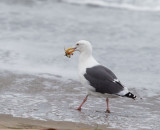 Western Gull, adult with crab