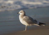Mew Gull, second winter