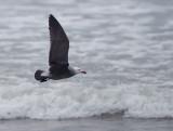 Heermann's Gull, breeding plumage