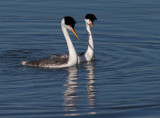 Clark's Grebes, courting
