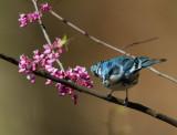 Cerulean Warbler, male taking off