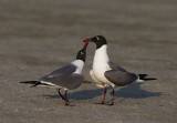 Laughing Gulls, pair courting