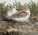 Western Sandpipers, juvenile
