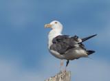 Western Gull, third cycle