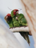 Red-masked Parakeets