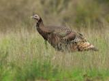 Wild Turkey, male, breeding plumage