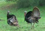 Wild Turkeys, male