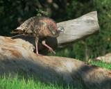 Wild Turkey, female
