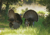 Wild Turkeys, males, displaying
