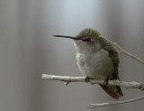 Costa's Hummingbirds