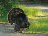 Wild Turkey, male, displaying
