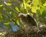 Green Heron, nestling