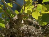 Green Herons, two nestlings