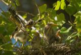 Green Herons, four nestlings