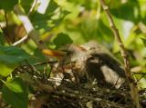 Green Herons, three nestlings