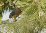 Green Heron, adult near nest