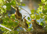 Green Herons, adult and four nestlings