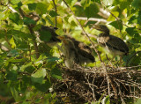 Green Herons, four branchlings