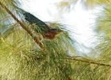 Green Heron, adult approaching nest