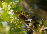 Green Herons, adult feeding branchling