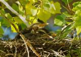 Green Herons, four branchlings in nest