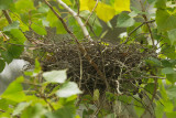 Green Heron nest, empty