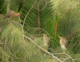 Green Herons, adult (L) and two juveniles