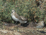 Western Sandpiper, juvenile, with Least Sandpipers
