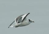 Sabine's Gull, subadult, non-breeding plumage
