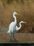 Great Egrets, dancing?