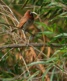 Scaly-breasted Munia, carrying nesting material