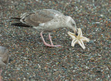 Western Gull, second winter, eating sea star