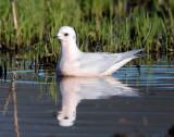 Ross's Gull, swimming