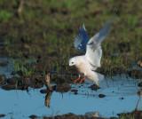 Ross's Gull, landing