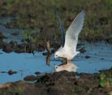 Ross's Gull, landed