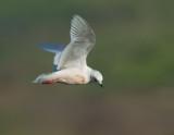 Ross's Gull, flying