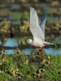 Ross's Gull, taking off