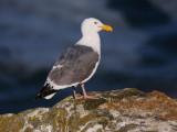 Western Gull, adult breeding