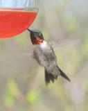 Ruby-throated Hummingbird, male