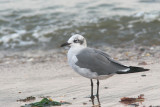 Laughing Gull, adult winter