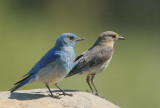 Mountain Bluebirds, pair