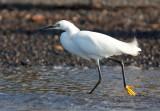 Aigrette neigeuse - Egretta thula - Snowy Egret
