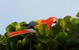 Ara rouge - Ara macao - Scarlet Macaw.jpg
