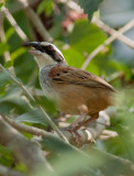 Bruant ligné - Aimophila ruficauda - Stripe-headed Sparrow